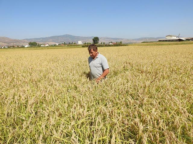 Швајцарска поддршка за одржливо производство на ориз во Кочанско
