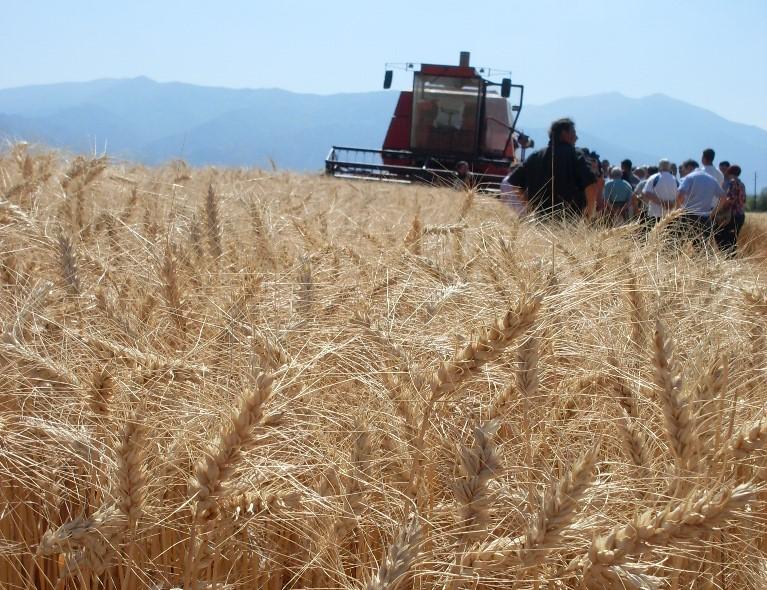 Во полн ек е жетвата на пченицата, годинава се очекува за четири отсто поголемо производство од 2017 година